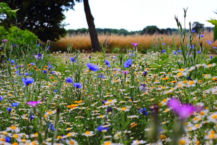 Eine blühende Blumenwiese voller Mohn und Gänseblumen.