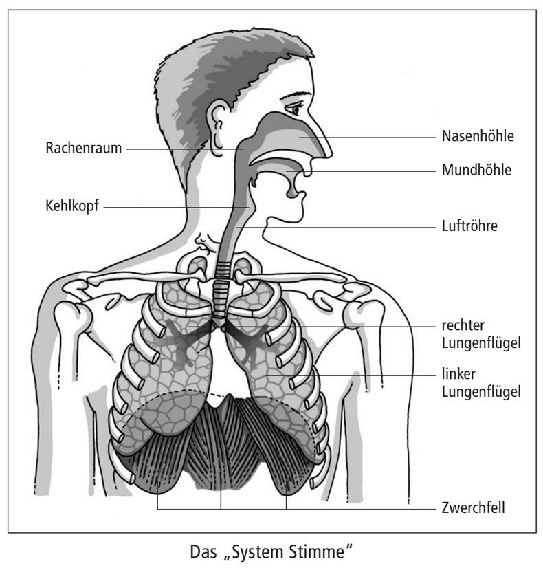 Auf dieser Abbildung sind alle menschlichen Organe im Querschnitt zu sehen, die an der Stimmbildung beteiligt sind.